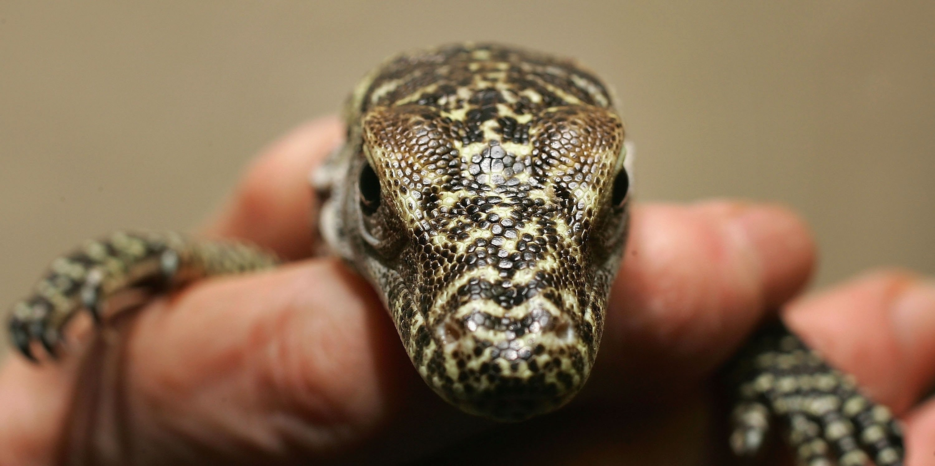 A baby Komodo dragon. These lizards sometimes eat their young. On the bright side, they might soon save human lives.