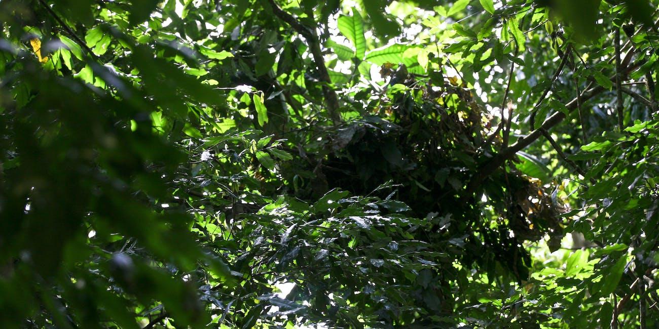 Chimp's Nest