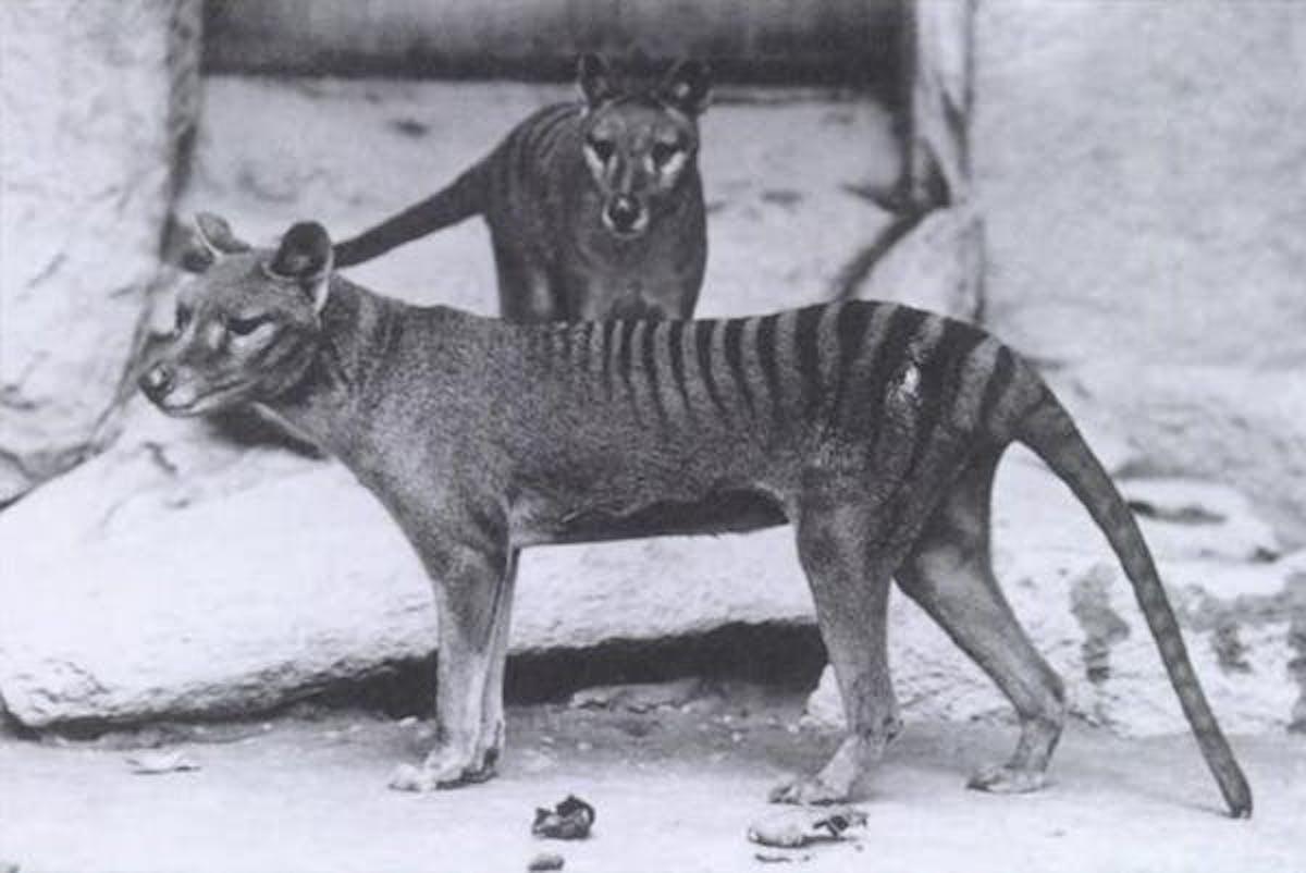 The wolf-like thylacine