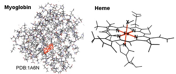 myoglobin and heme