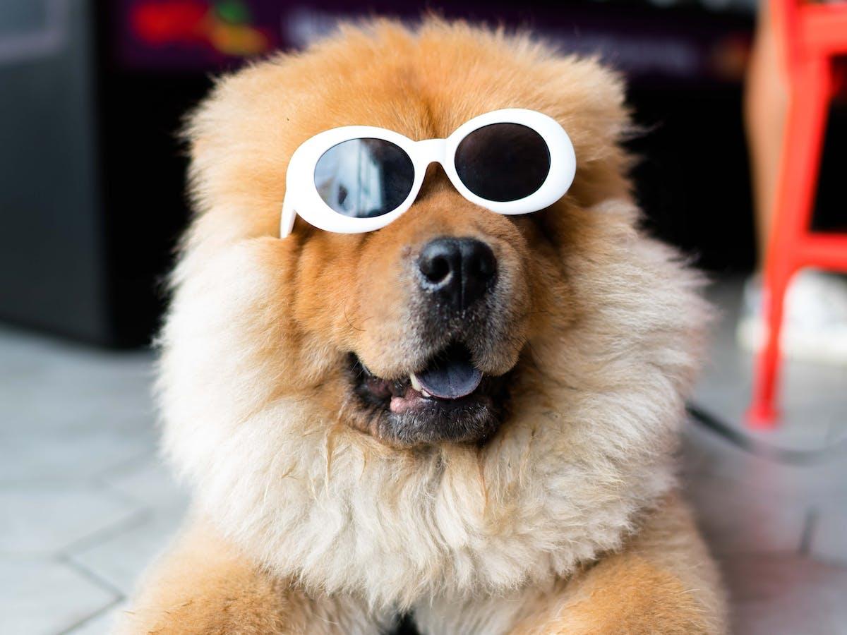 dog wearing sunglasses B)