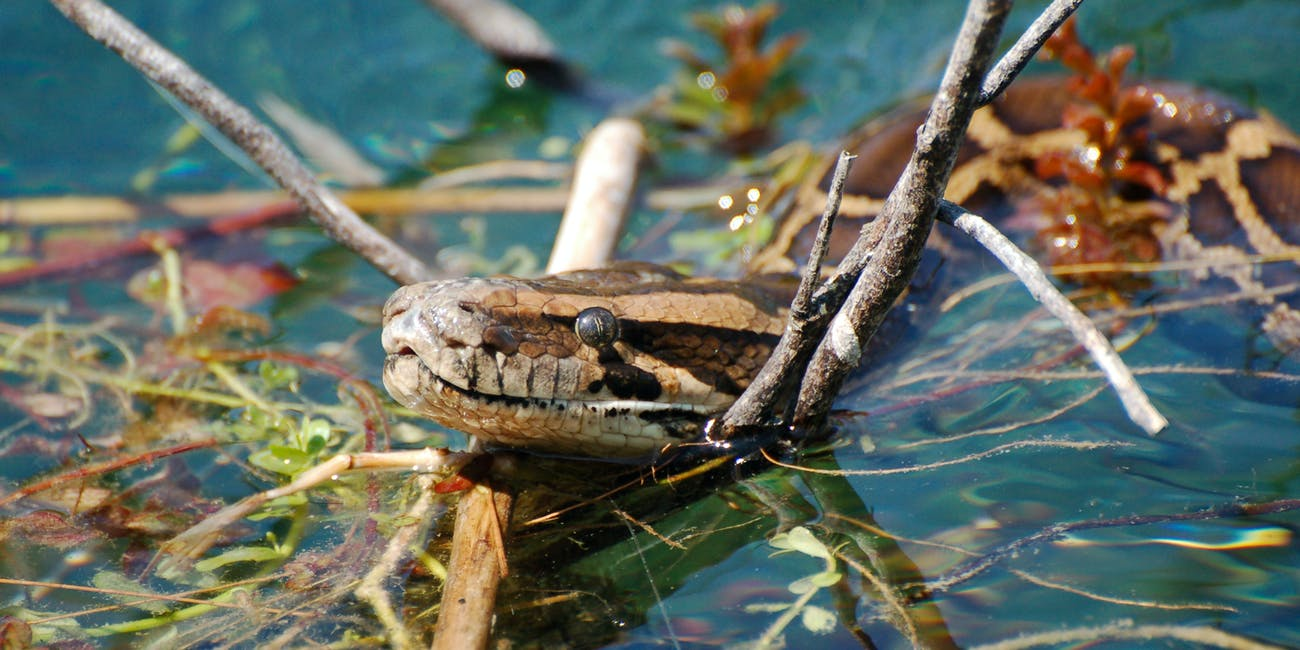 The international wildlife trade brought the Burmese python to Florida, where it has become an invasive species.