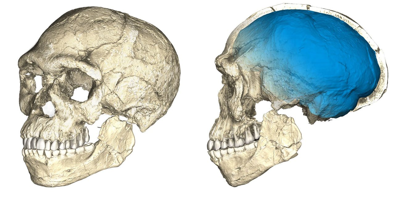 The first of our kind. Two views of a composite reconstruction of the earliest known Homo sapiens fossils from Jebel Irhoud (Morocco) based on micro computed tomographic scans of multiple original fossils. Dated to 300 thousand years ago these early Homo sapiens already have a modern-looking face that falls within the variation of humans living today. However, the archaic-looking virtual imprint of the braincase (blue) indicates that brain shape, and possibly brain function, evolved within the Homo sapiens lineage (Picture credit: Philipp Gunz, MPI EVA Leipzig, License: CC-BY-SA 2.0).