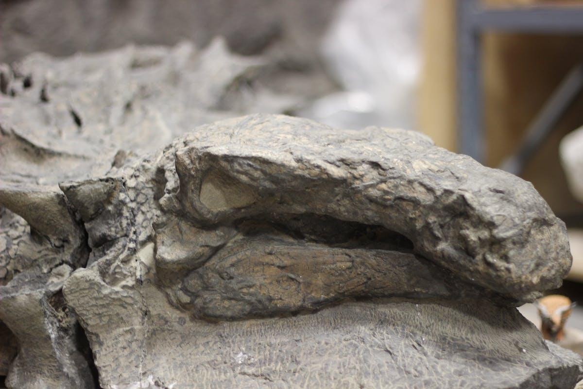 nodosaur royal tyrrell museum suncor