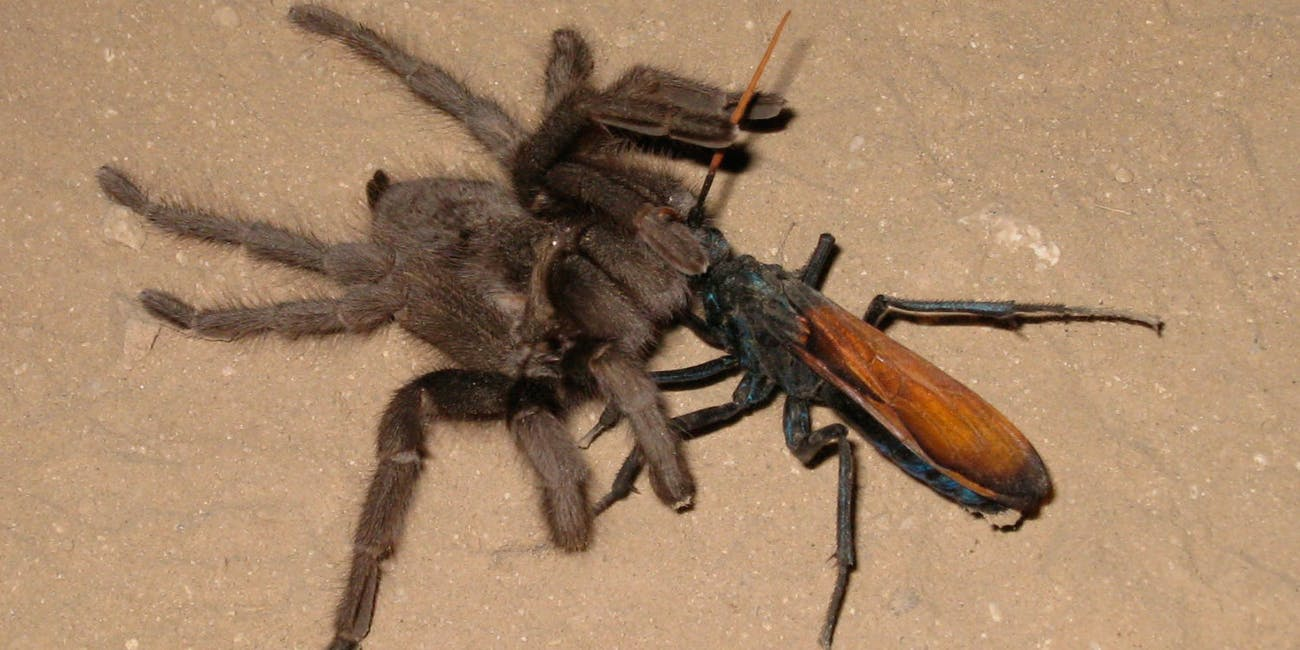 why allowing a tarantula hawk to sting you is evolutionarily
