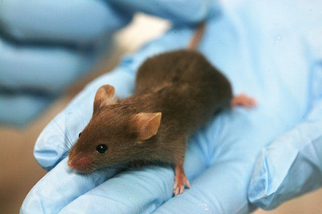 When it comes to genome splicing in mice, results tend to be unpredictable.