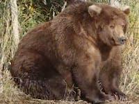 Fat Bear the Internet Loves