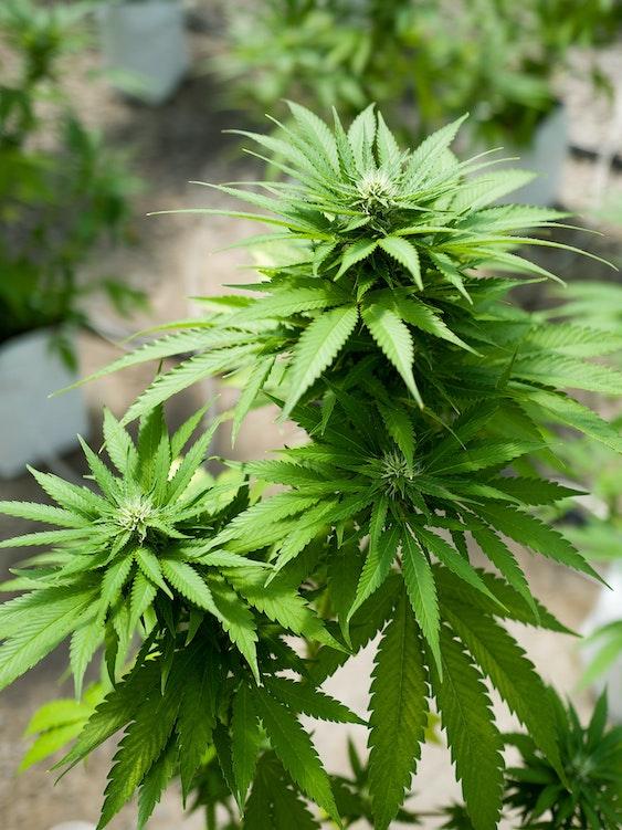 Florida just legalized medical marijuana.