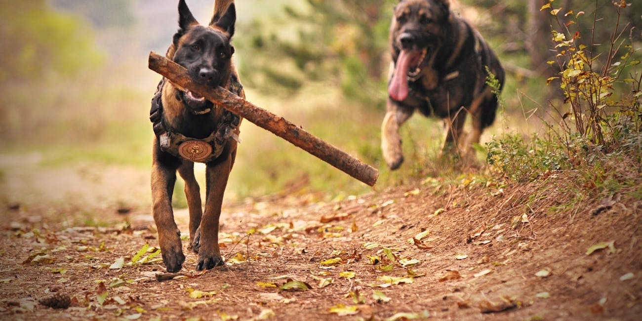 Two dogs playing, one carrying a stick.