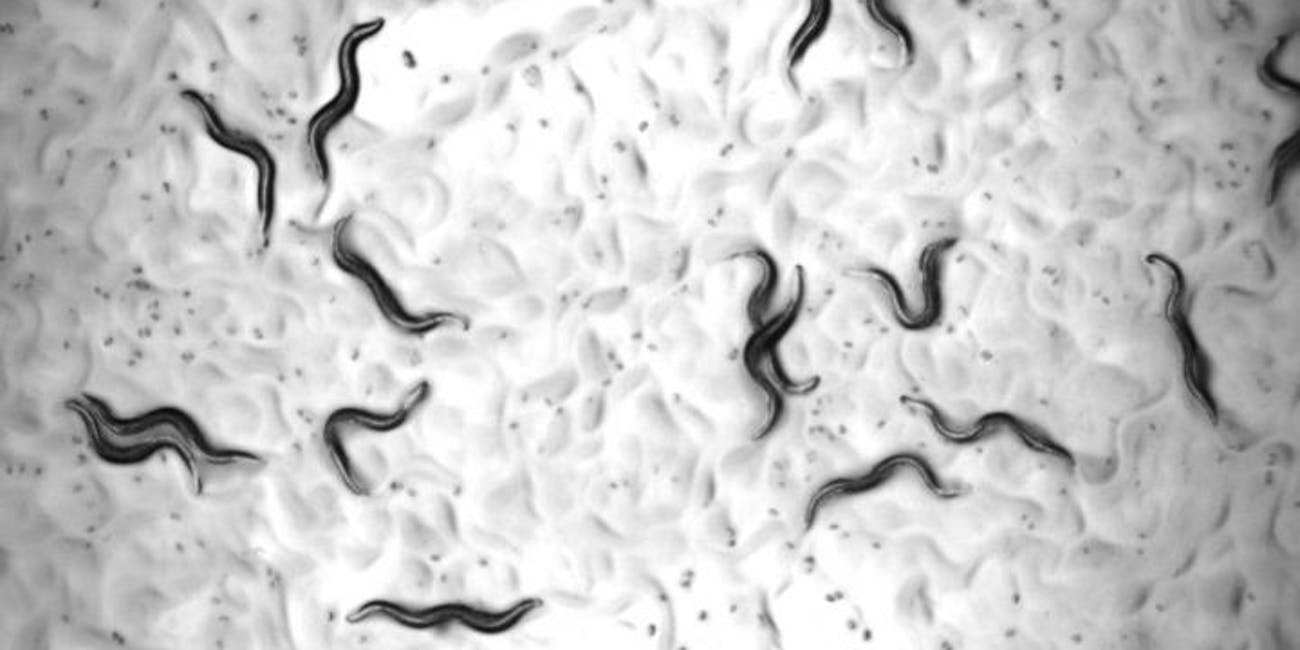 Anti-Aging Drug Cocktail Extends Worm Lifespans and Could
