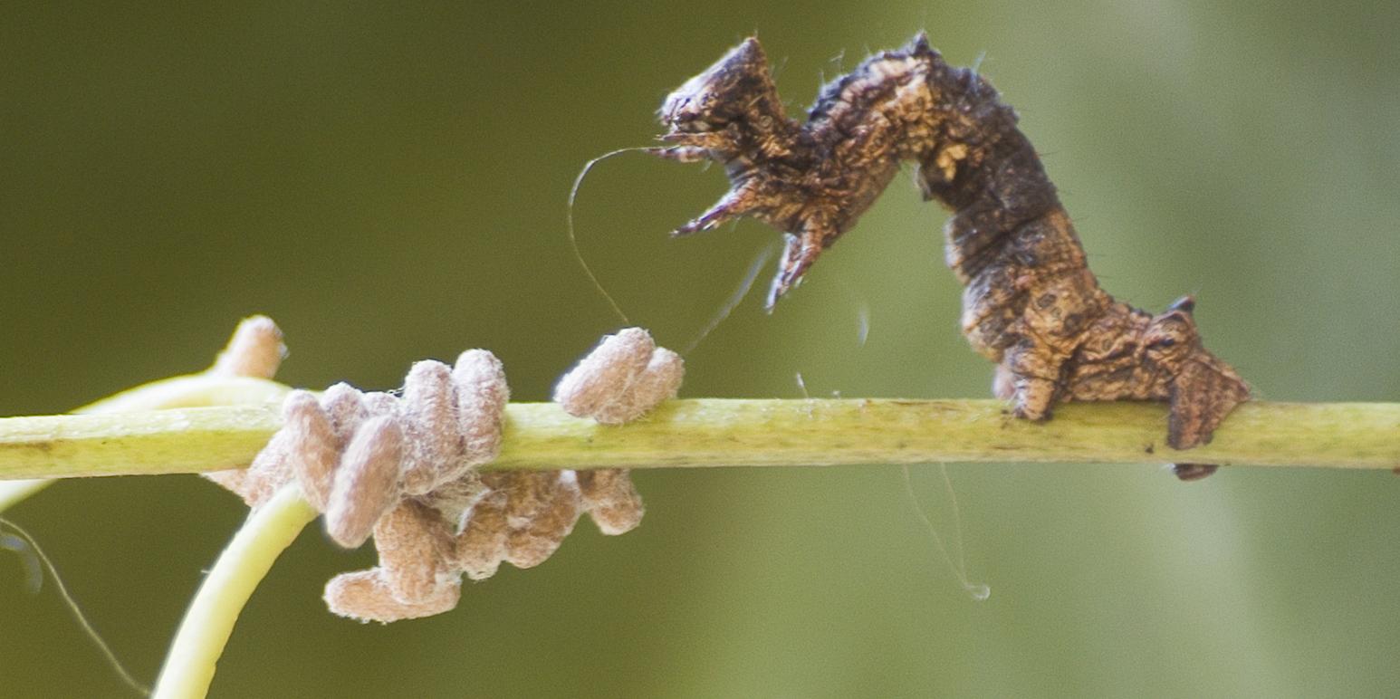 Neuro-Parasites Exerting Mind Control Reveal Nature's 'Imperius Curse'