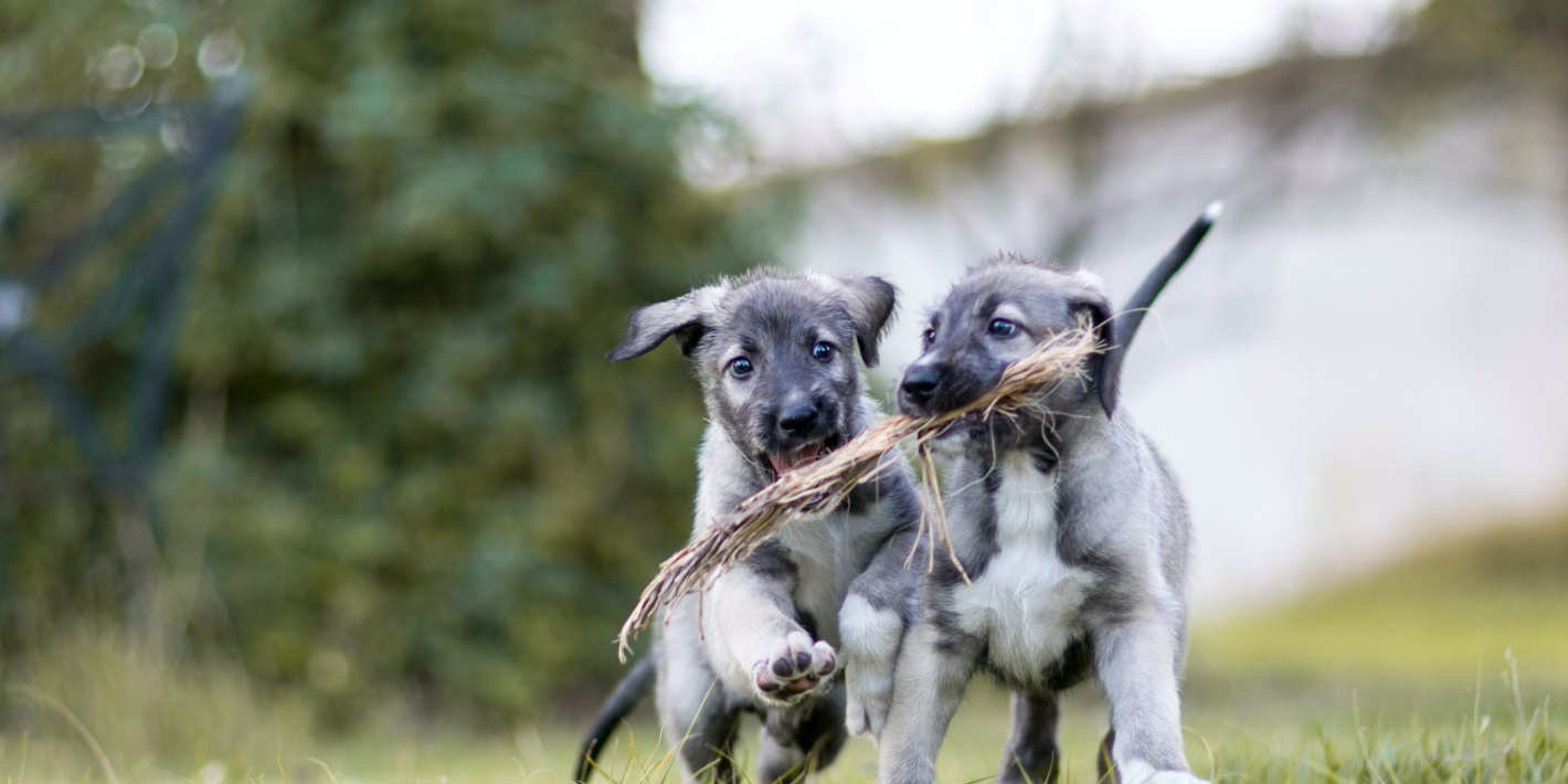 Identical twin puppies.