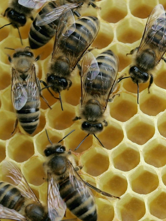 Honey bees sit on a honeycomb on May 19, 2008 in Mahlberg near Freiburg, Germany.