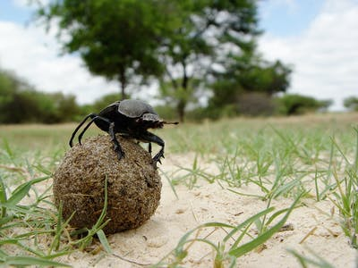 How Dung Beetles Are Illuminating Our Understanding of Gender