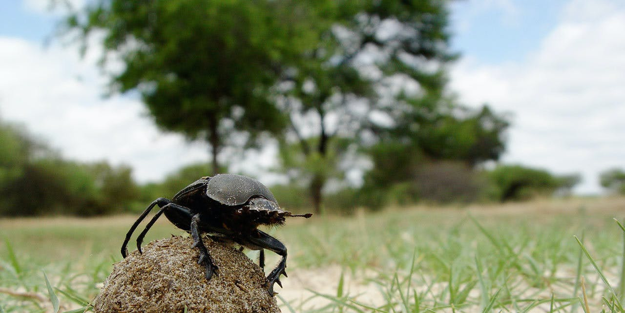 A dung beetle rolling its ball in South Africa.