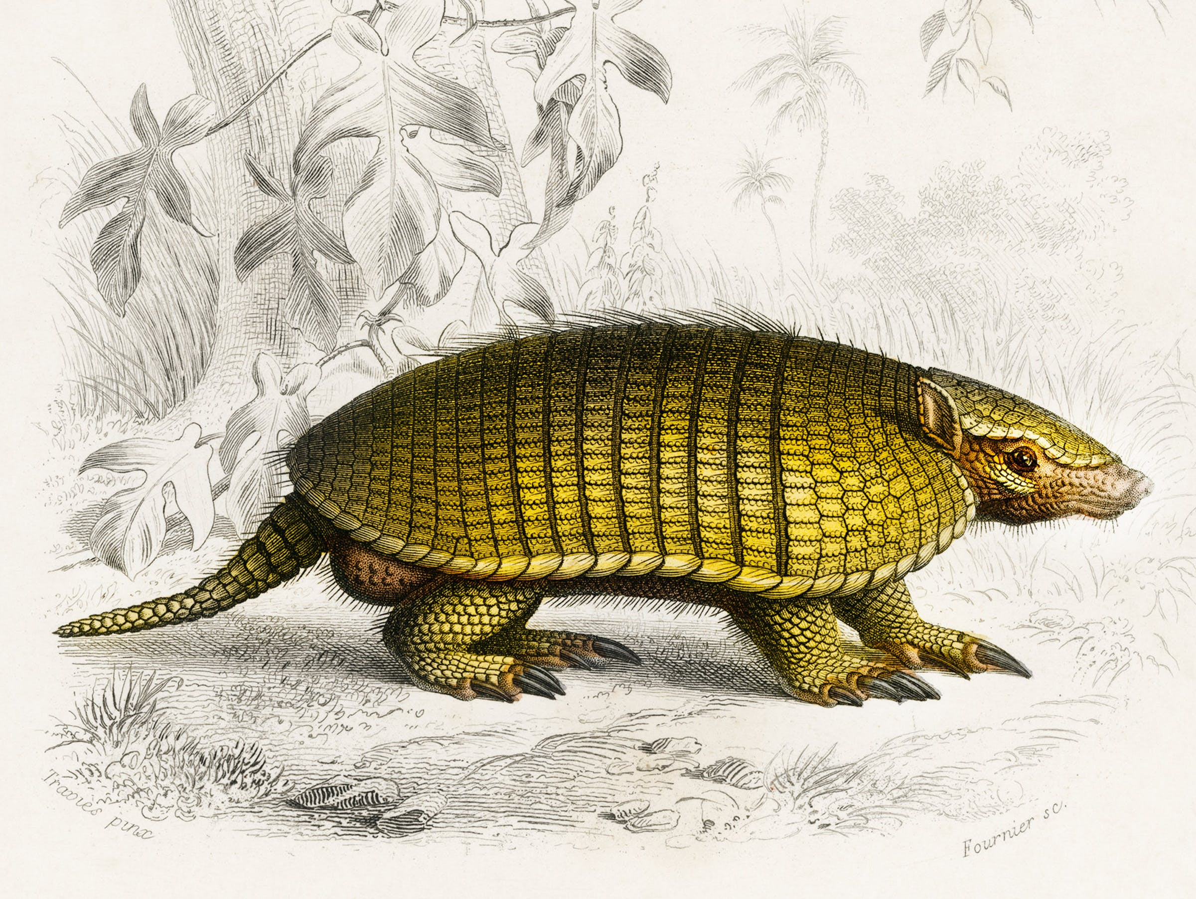 Manis crassicaudata (Indian Pangolin); Euphractus sexcinctus (Yellow armadillo)