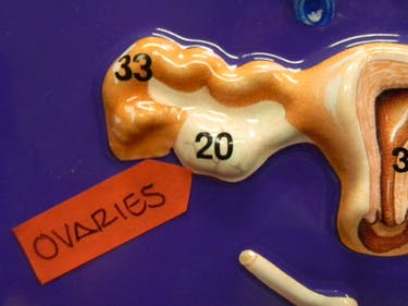 ovary ovaries mouse mice 3d print organ