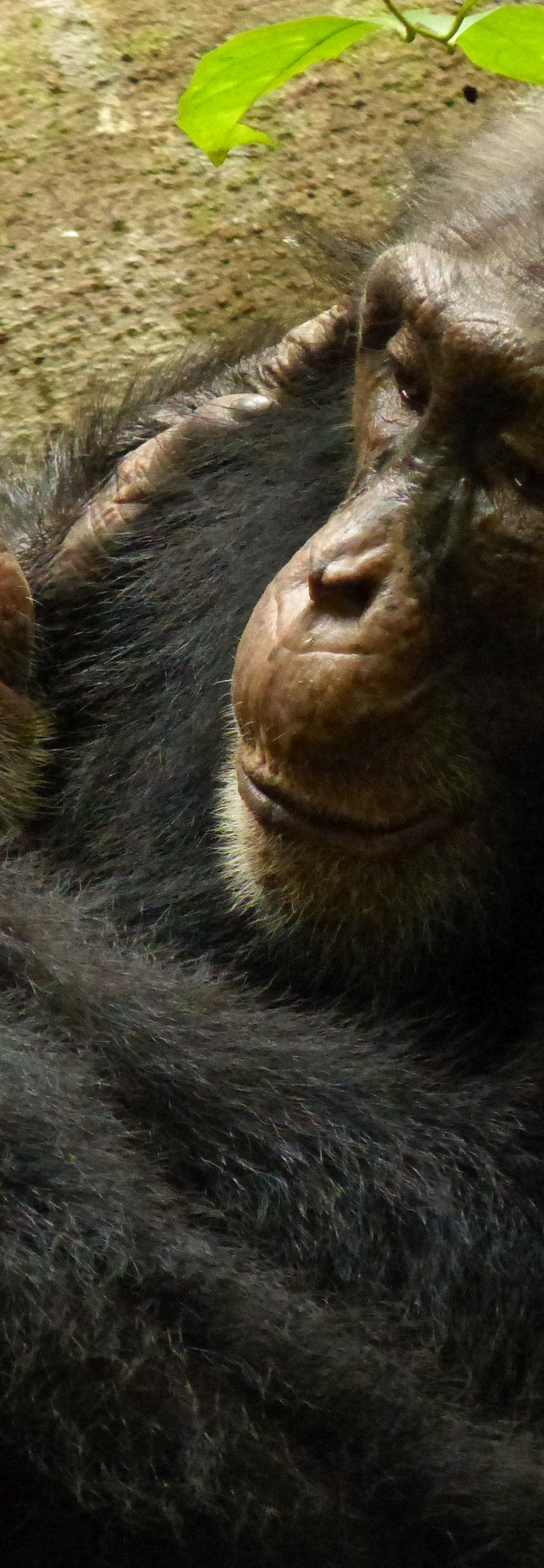 Chimp Behaviors, Passed Down Over Generations, Are Starting to Disappear