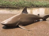 How Believable Are Claims of Australia's Real-Life Sharknado?