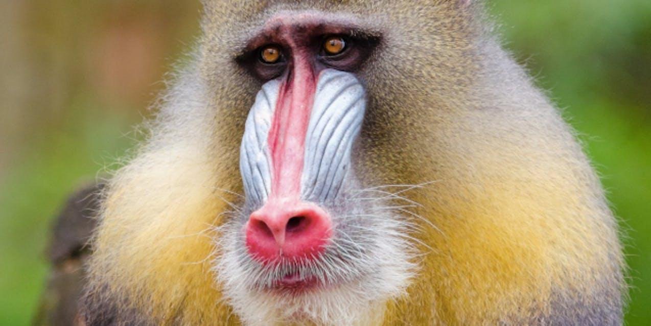 mandril baboon