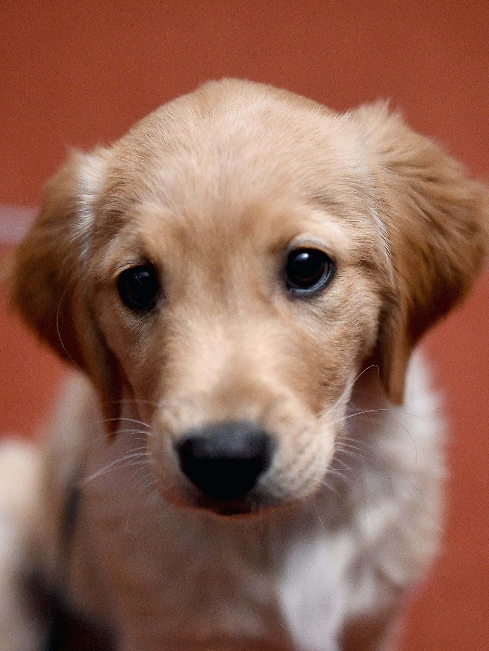 NEW YORK, NY - FEBRUARY 22:  A  Golden Retriever attends the American Kennel Club Presents The Nation's Most Popular Breeds Of 2015 at AKC Headquarters on February 22, 2016 in New York City.  (Photo by Jamie McCarthy/Getty Images)