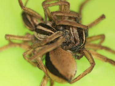Spider Expert Finds Biological Basis for Threesomes