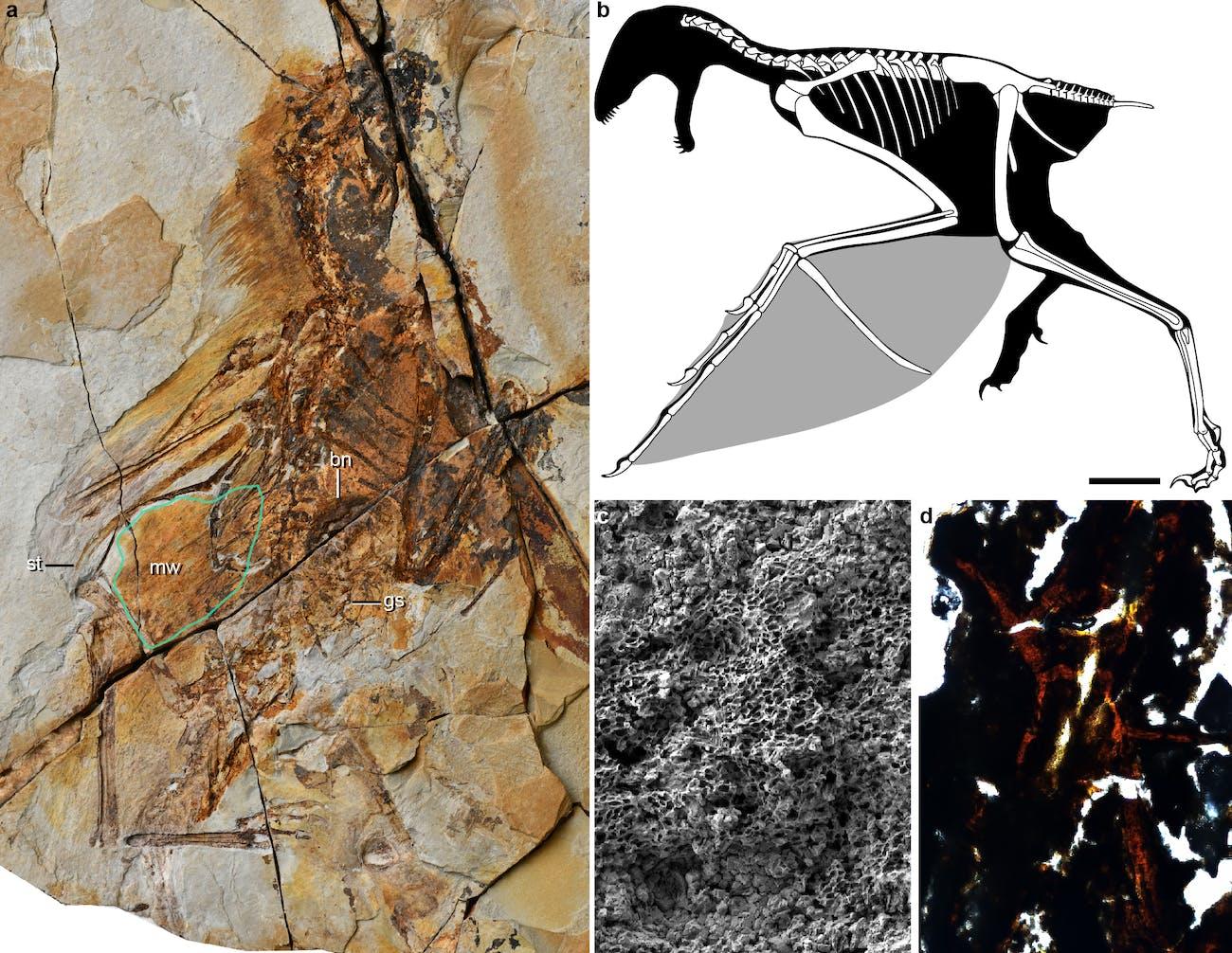 Ambopteryx longbrachium