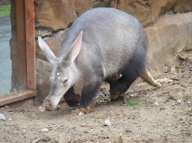 Aardvark zoo captivity drink drinking water