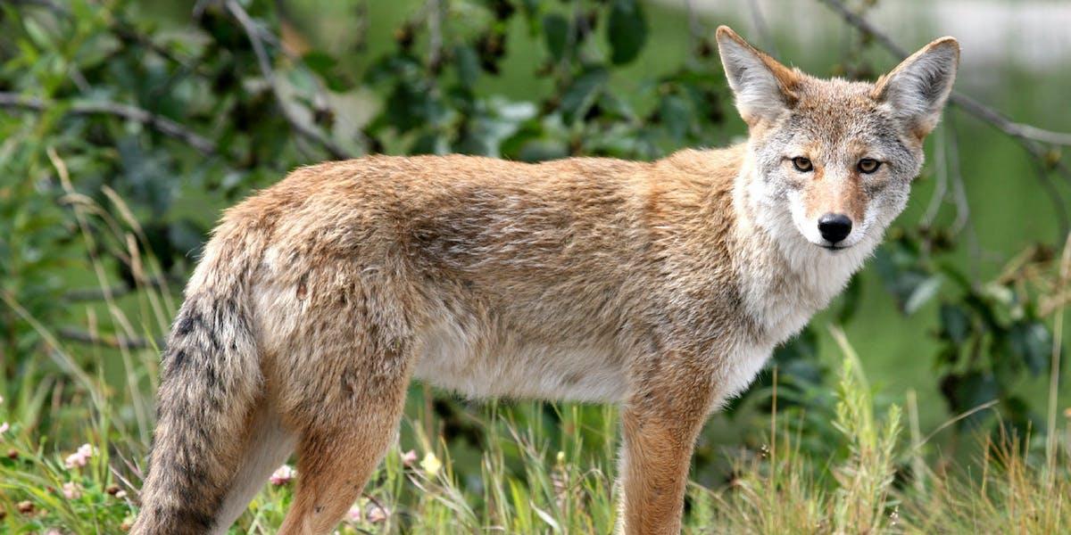 Coyote in Alaska.