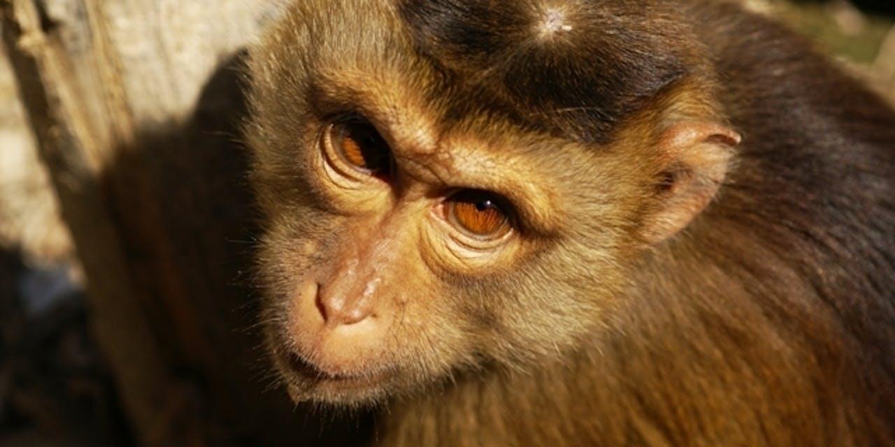Macaque rhesus