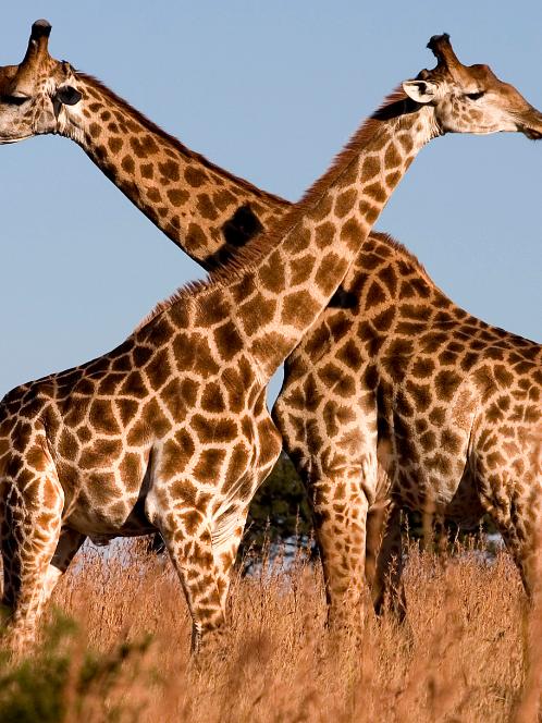 Two big giraffes.