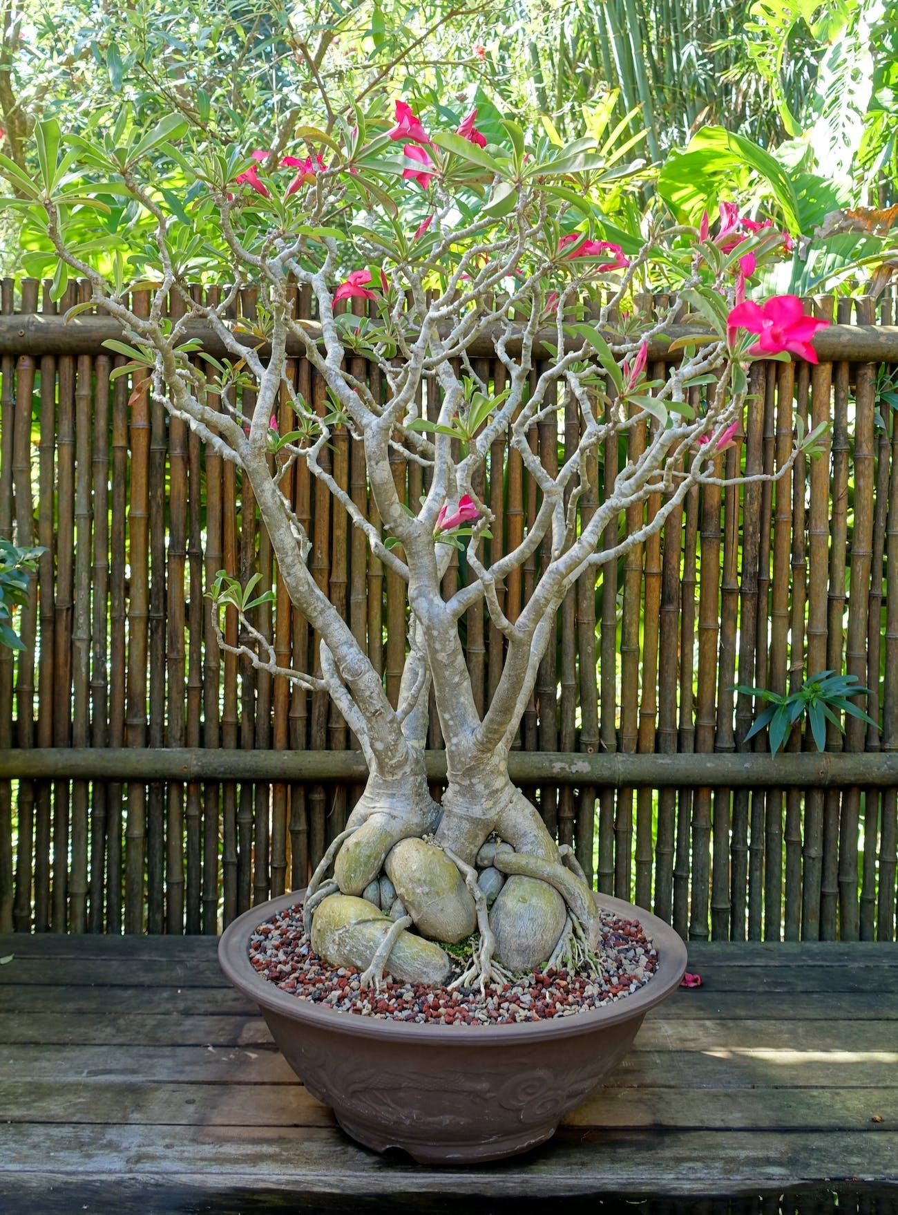 Adenium obesum - Marie Selby Botanical Gardens - Sarasota, Florida - DSC01083