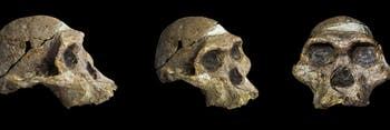 Ancient hominid skulls