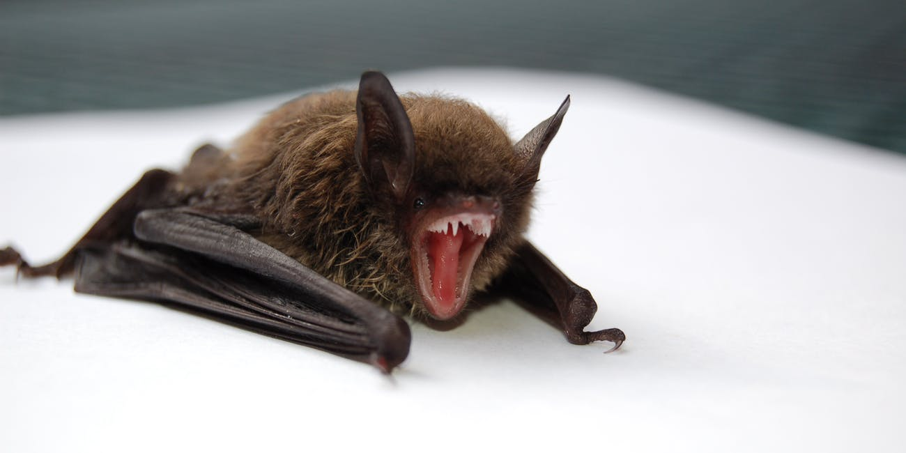 Bats may seem like little flying kittens, but they're wild animals who can carry diseases like rabies.