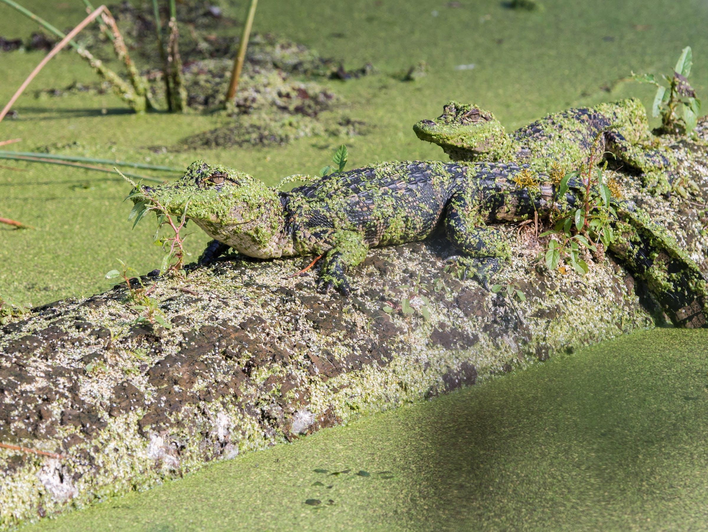 Juvenile American Alligators (Alligator mississippiensis)