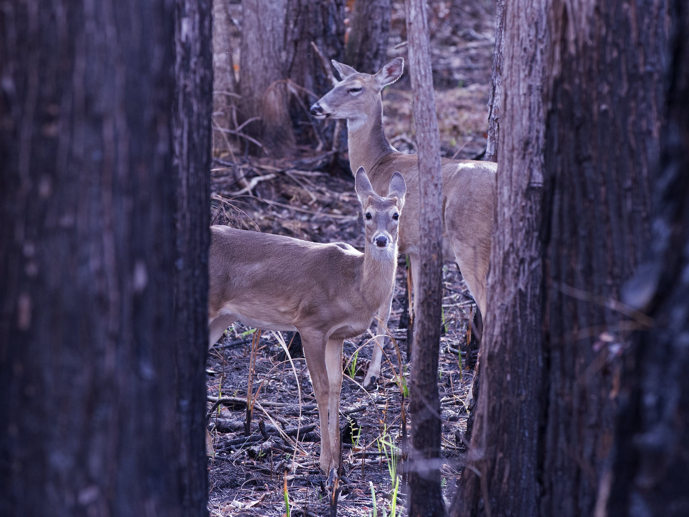 white-tailed deer standing in woods