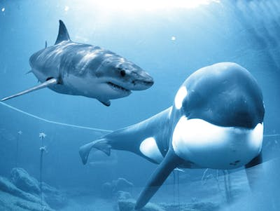 South African Killer Whales Develop a Taste for Shark Liver