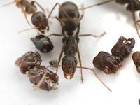 ant, skull