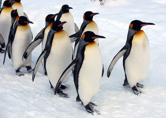 Tubby emperor penguins may be well-insulated, but they fall over much more easily.