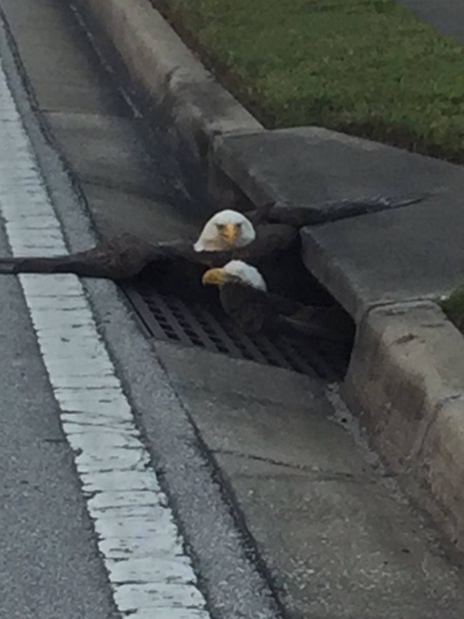 Two injured bald eagles are stuck in a literal sewer.