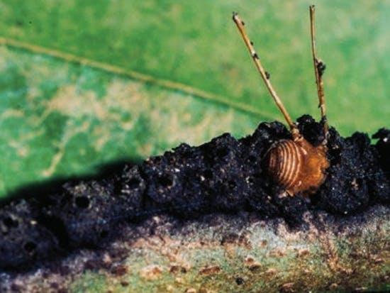 azteca brevis ants costa rica