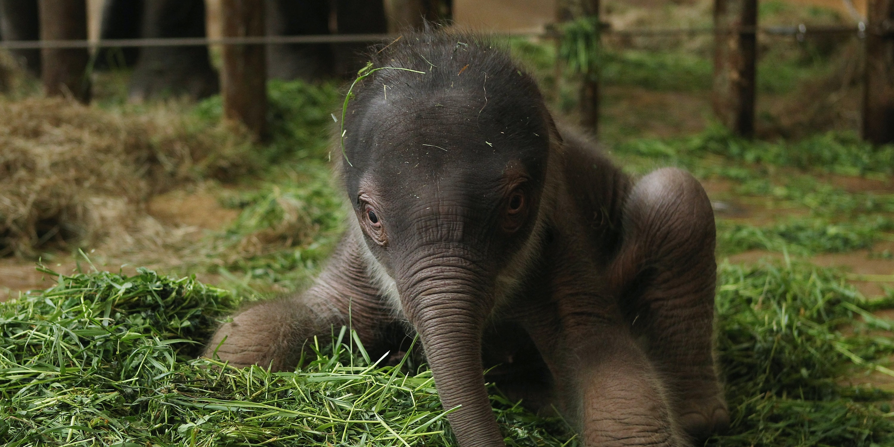 A two-day-old Asian elephant at the Berlin Zoo.