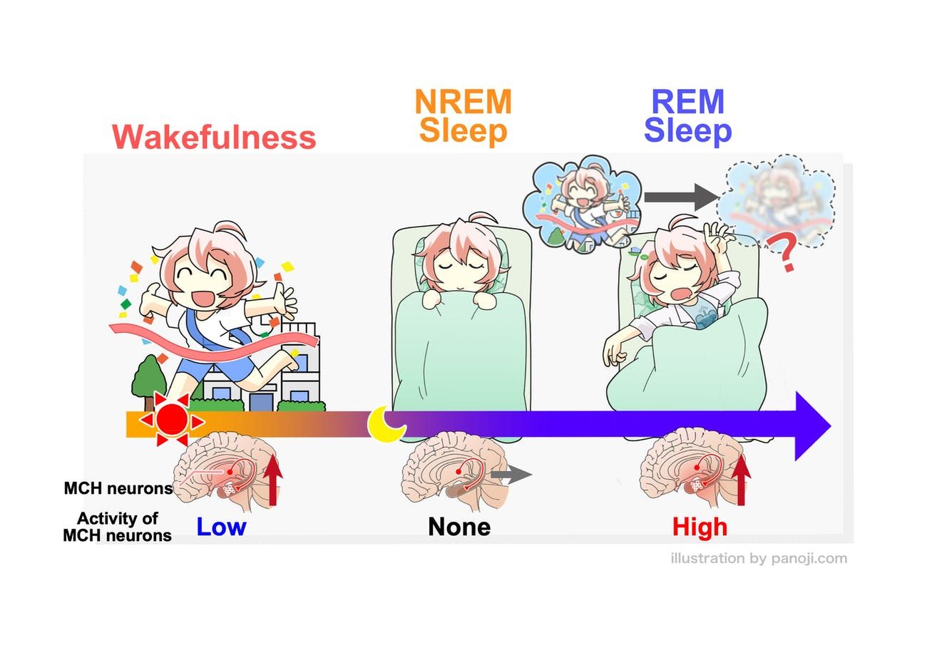 Melanin-concentrating hormone (MCH)-producing neurons are somewhat active during wakefulness, inactive during NREM sleep, and highly active during REM sleep. Researchers concluded that these neurons are crucial to our brain's ability to forget unnecessary memories while we sleep.