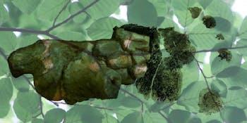 a. afarensis foot