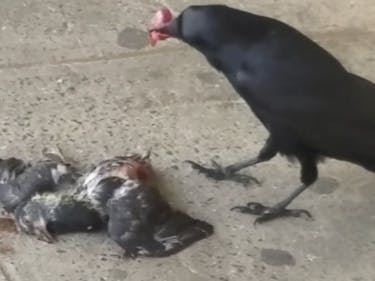 new york city raven crow pigeon murder