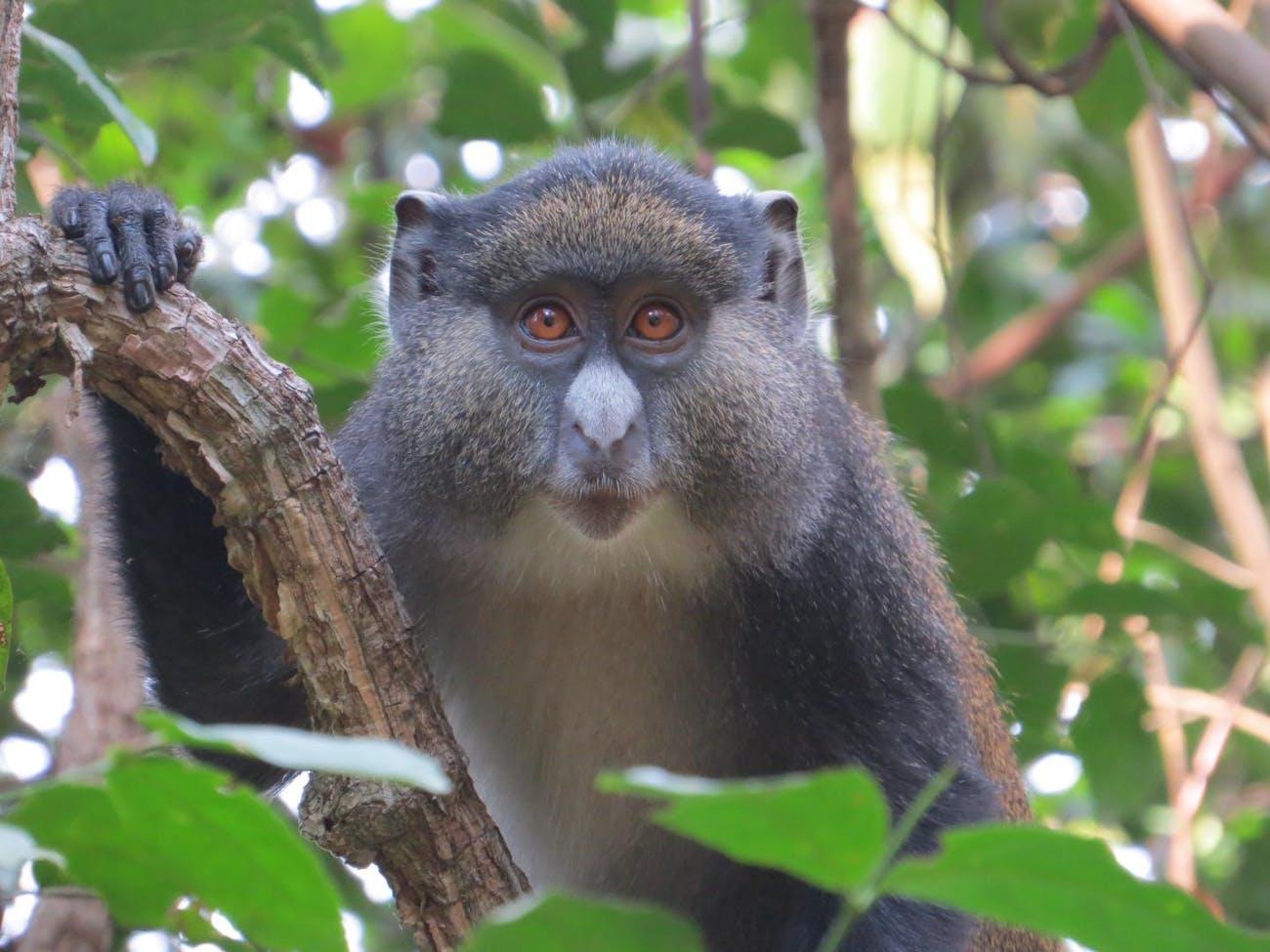 guenon monkey hybrid