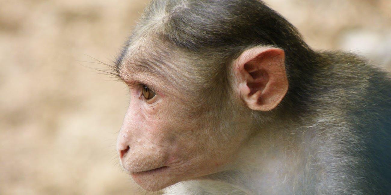 Rhesus Macaque Macaca Mulatta monkey chimp ape primeate