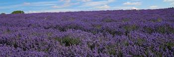 Field of lavender flowers.