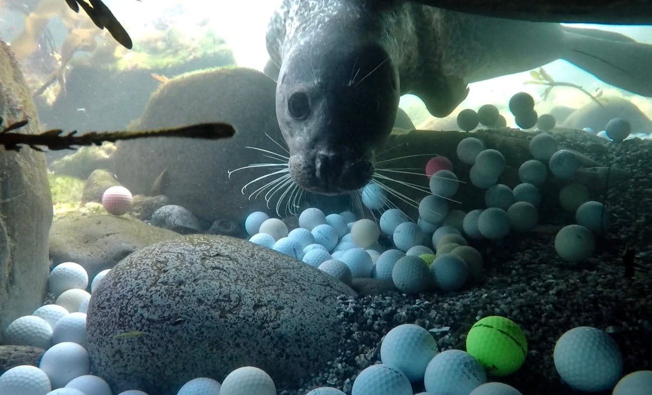 A harbor seal investigates a member of the golf ball recovery team.
