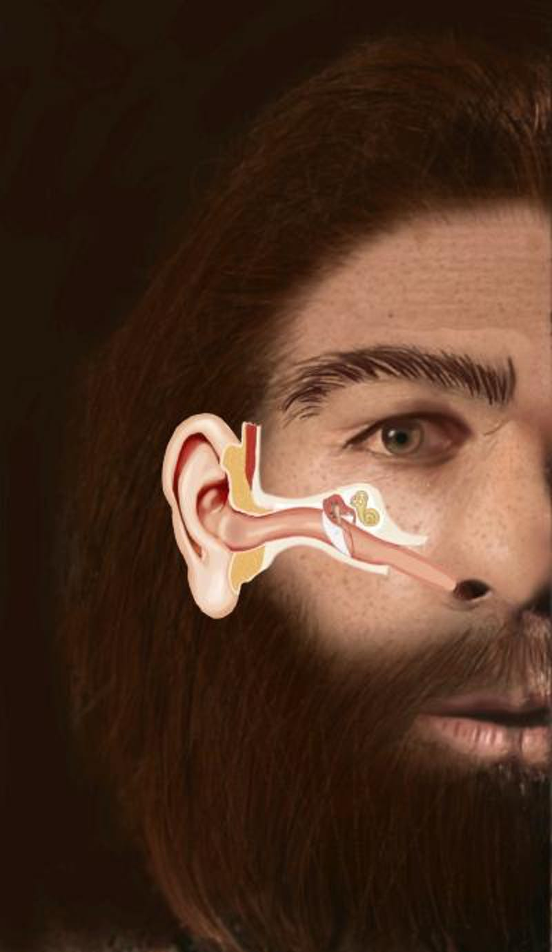 This illustration shows the structure of the Eustachian tube in a Neanderthal man and its similarity to the human infant.